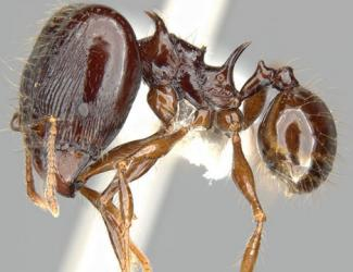 New Ant Species Like Dragon